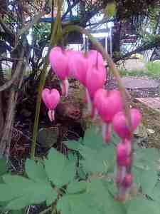 Bleeding Heart - a beautiful plant - heart and mind united.